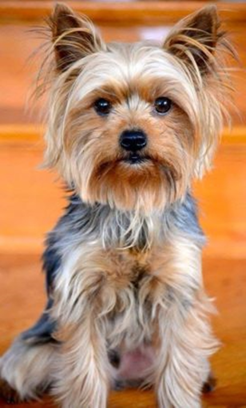 75 Yorkie Haircut Ideas And All You Need To Know About